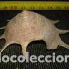 Coleccionismo de moluscos: CARACOLA MARINA 6, 5X2, 5. Lote 69715857