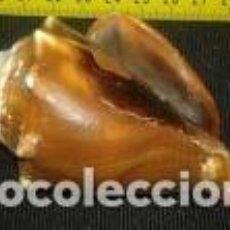 Coleccionismo de moluscos: CARACOLA MARINA 9, 5 X 6 X4, 5 CM. Lote 69717209