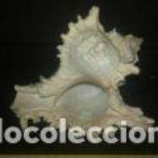 Coleccionismo de moluscos: CARACOLA MARINA 12 X 9, 5 X 8 CM. Lote 69730365