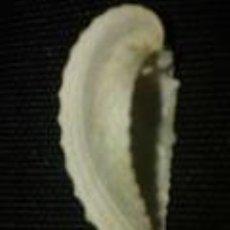 Coleccionismo de moluscos: PAREJA DE CONCHAS MARINAS 4, 5 X 2 CM X2. Lote 70191217