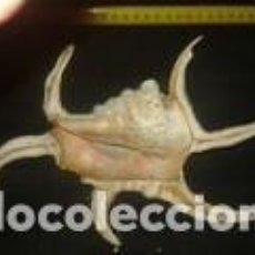 Coleccionismo de moluscos: CARACOLA MARINA 21 X 16 X 5 CM. Lote 70389829