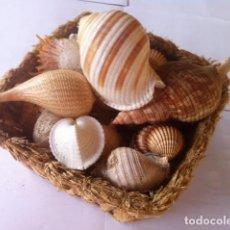 Coleccionismo de moluscos: COLECCION CARACOLAS DIVERSAS FORMAS Y MEDIDAS PRECIOSAS,UNAS SETENTA PIEZAS, CESTA MAZORCAS. Lote 75788727
