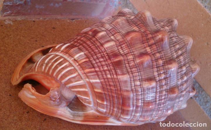 Coleccionismo de moluscos: Concha marina caracola - Foto 4 - 75892423