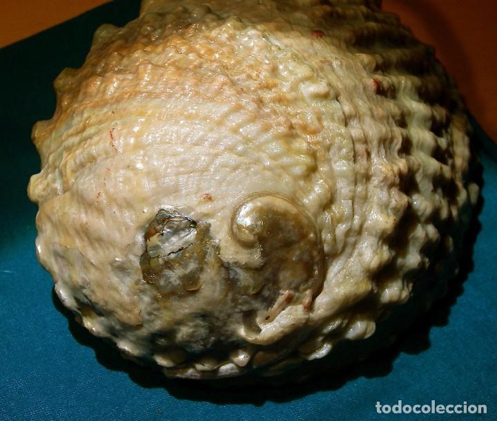 Coleccionismo de moluscos: Concha - cuenco - Foto 2 - 79989245