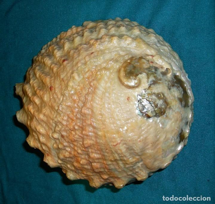 Coleccionismo de moluscos: Concha - cuenco - Foto 4 - 79989245