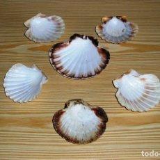 Coleccionismo de moluscos: CONJUNTO DE 6 CONCHAS VIEIRA.. Lote 92954245