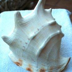 Coleccionismo de moluscos: OBRA DE ARTE DE LA NATURALEZA DEL FONDO DEL OCEANO ATLANTICO PRECIOSA Y GRAN CARACOLA ACUARIO PECERA. Lote 94988391