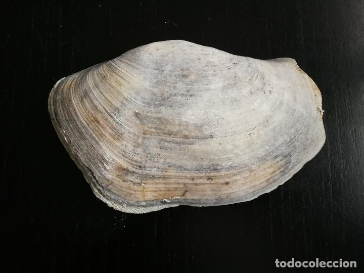 Coleccionismo de moluscos: ANTIGUA CONCHA GIGANTE - MOLUSCO - BIVALVO - GEODUCK ? ALMEJA TROMPA DE ELEFANTE ? - PANOPEA GENEROS - Foto 2 - 261666705