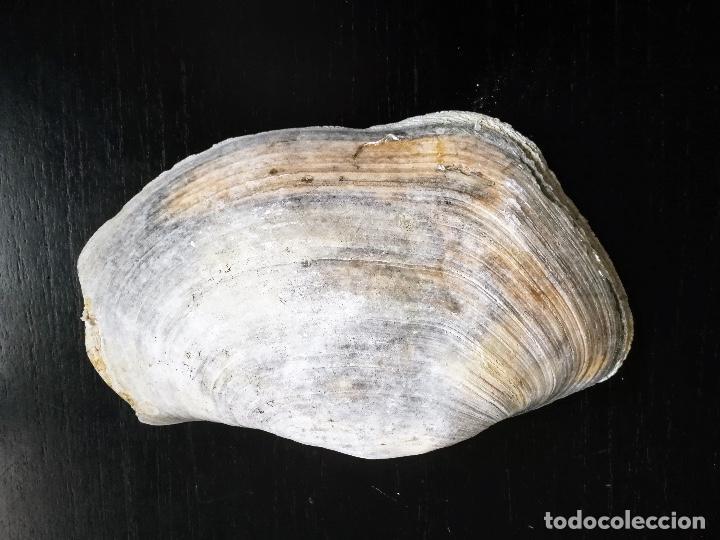 Coleccionismo de moluscos: ANTIGUA CONCHA GIGANTE - MOLUSCO - BIVALVO - GEODUCK ? ALMEJA TROMPA DE ELEFANTE ? - PANOPEA GENEROS - Foto 3 - 261666705