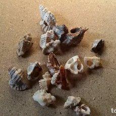 Coleccionismo de moluscos: LOTE DE CARACOLAS. Lote 100301895