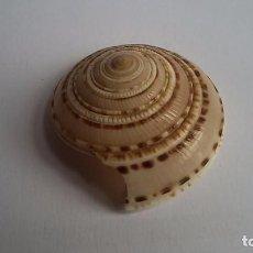 Coleccionismo de moluscos: CARACOLA DE LA FAMILIA ARQUITECTONICA. Lote 100593035
