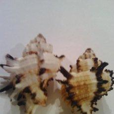 Collezionismo di molluschi: LOTE DE 2 CARACOLAS (6). Lote 101098999