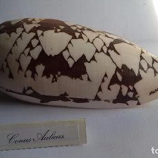 Coleccionismo de moluscos: CARACOLA CONO, CONUS AULICUS.13 CM, TANZANIA. Lote 133753033