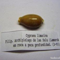 Coleccionismo de moluscos: CARACOL CYPRAEA LIMACINA.. Lote 102639435