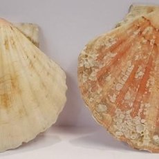 Coleccionismo de moluscos: JUEGO DE DOS CONCHAS DE VIEIRAS NATURALES. Lote 103388535