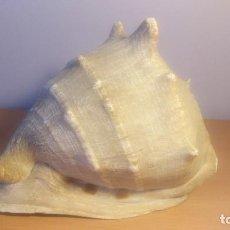 Coleccionismo de moluscos: BELLISIMA Y ENORME CARACOLA NATURAL DE 30 X 25 X 25. Lote 103649659