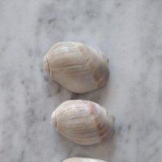 Coleccionismo de moluscos: LOTE DE 3 CARACOLAS.. Lote 104031895