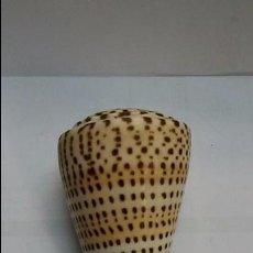 Coleccionismo de moluscos: CARACOLA CONO,CONUS LITERATUS, 85 MM LONGITUD. Lote 104805047