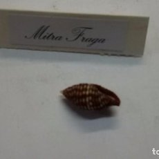 Coleccionismo de moluscos: CARACOLA MITRA FRAGA, 18 MM,FILIPINAS. Lote 105011147
