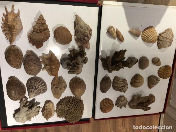 LOTE DE CONCHAS,CARACOLAS.... (Coleccionismo - Malacología )