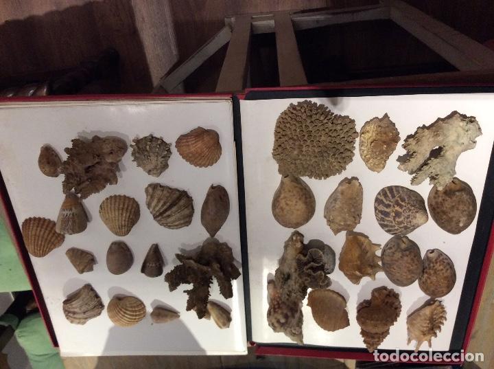 Coleccionismo de moluscos: Lote de conchas,caracolas.... - Foto 2 - 107175795