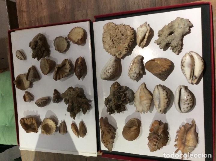 Coleccionismo de moluscos: Lote de conchas,caracolas.... - Foto 3 - 107175795