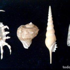 Coleccionismo de moluscos: LOTE 4 CONCHAS MARINAS. Lote 110925891