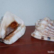 Collectionnisme de mollusques: PAREJA DE CARACOLAS MARINAS GIGANTES - CONCHAS. Lote 113565575
