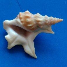 Coleccionismo de moluscos: CARACOLA DE MAR. CONCHA MARINA. Lote 115044967