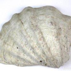 Coleccionismo de moluscos: CONCHA MARINA NATURAL. Lote 115058719