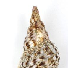 Coleccionismo de moluscos: CARACOLA MARINA NATURAL. Lote 115060099