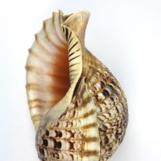Coleccionismo de moluscos: CARACOLA MARINA NATURAL. Lote 115060843