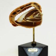 Coleccionismo de moluscos: CONCHA DE CARACOLA SECCIONADA EN SOPORTE DE EXPOSICIÓN DE JAIME SERRATE (TERRASSA). Lote 115713623