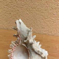 Coleccionismo de moluscos: CONCHA CARACOLA MARINA 14CM. Lote 116049195