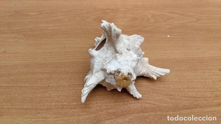 Coleccionismo de moluscos: CONCHA CARACOLA MARINA 14CM - Foto 3 - 116049195