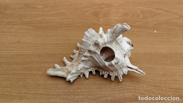 Coleccionismo de moluscos: CONCHA CARACOLA MARINA 14CM - Foto 4 - 116049195