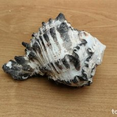 Coleccionismo de moluscos: CONCHA CARACOLA MARINA 11CM. Lote 116056999