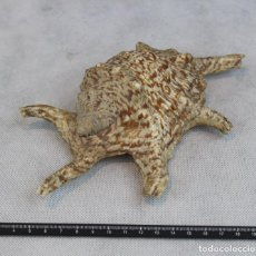 Coleccionismo de moluscos: LAMBIS CHIRAGRA,DIMENSIONES 19 X 8 X 6 CM.. Lote 118183075