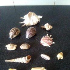 Coleccionismo de moluscos: 97-BONITO LOTE 12 CARACOLAS DE MAR.. Lote 120364603