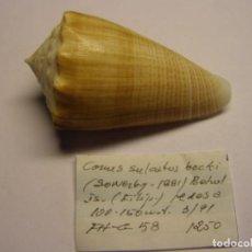 Colecionismo de moluscos: CARACOL CONUS SULCATUS BOCKI, FILIPINAS.. Lote 125186967