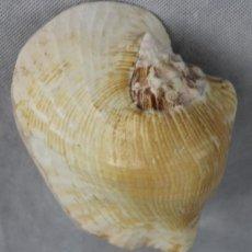 Coleccionismo de moluscos: STROMBUS LATISSIMUS,140 X 100 MM,LINNEO. Lote 126022903