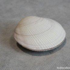 Colecionismo de moluscos: CODAKIA ORBICULARIS,COLECCIÓN BOLAFFI-TORINO,BIVALBO,EN ESTUCHE.. Lote 126335687