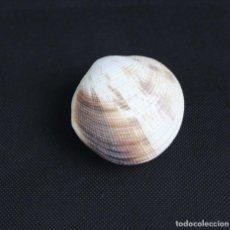 Colecionismo de moluscos: CODAKIA TIGERINA,COLECCIÓN BOLAFFI-TORINO,EN ESTUCHE.. Lote 126592791