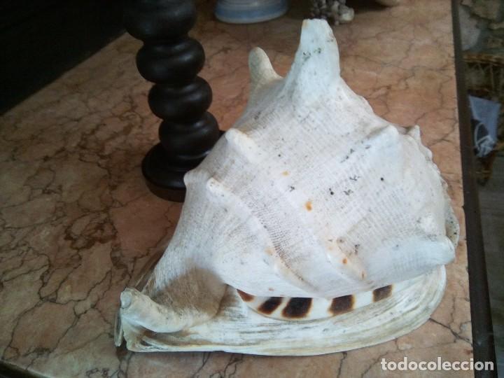 Coleccionismo de moluscos: * ANTIGUA CARACOLA DE MAR .26 CM X 21 CM. (Rf:B/g) - Foto 5 - 126866087
