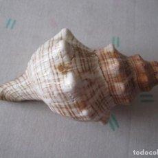 Coleccionismo de moluscos: CARACOLA MARINA 15 CM. Lote 127965323