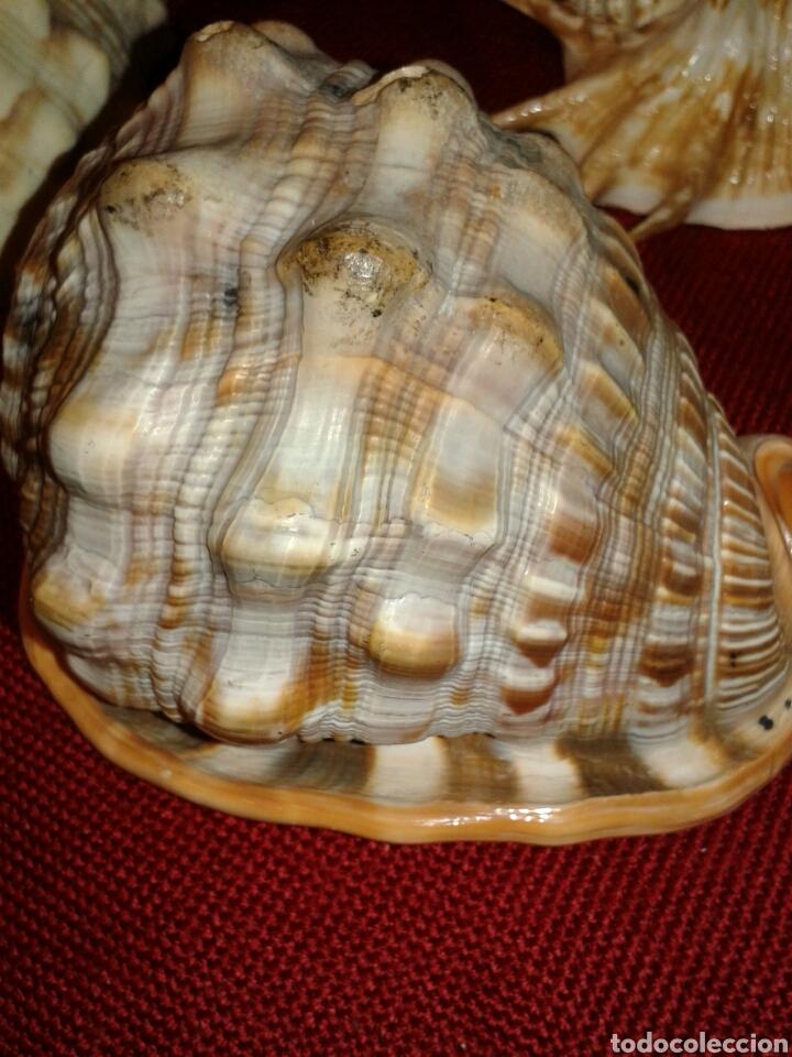 Coleccionismo de moluscos: CINCO CARACOLAS DE MAR - Foto 2 - 128393342