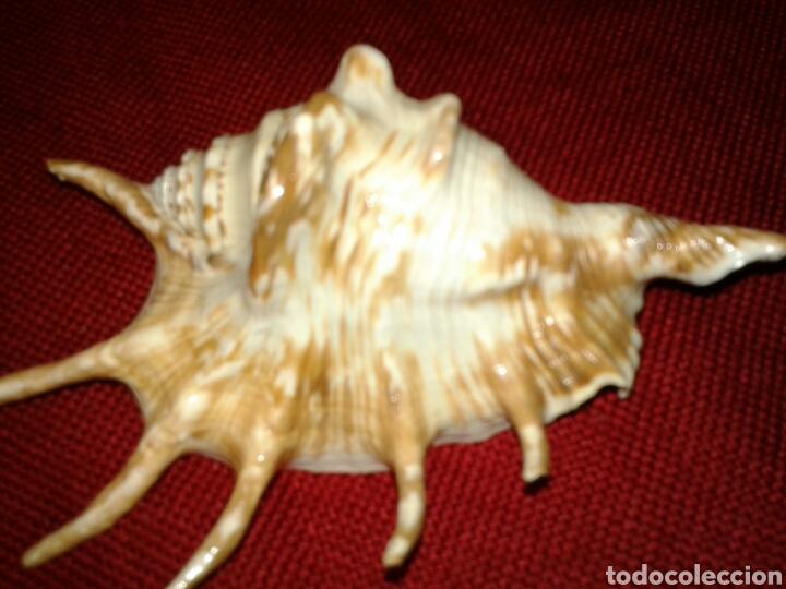 Coleccionismo de moluscos: CINCO CARACOLAS DE MAR - Foto 5 - 128393342