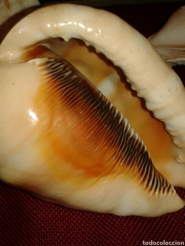 Coleccionismo de moluscos: CINCO CARACOLAS DE MAR - Foto 7 - 128393342