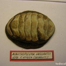 Coleccionismo de moluscos: CARACOL ACANTHOPLEURA VAILLANTII, DJIBOUTI.. Lote 128398903