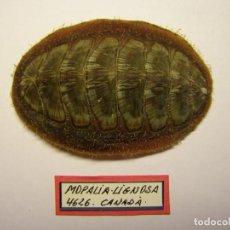 Coleccionismo de moluscos: CARACOL MOPALIA LIGNOSA, CANADÁ.. Lote 128399951